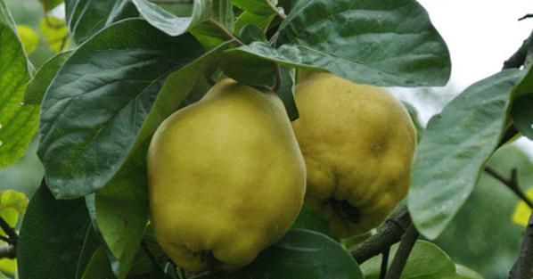 Screenshot_2018-10-02-Piante-da-frutto-Ravenna-Vivai-Piante-Rosetti-I-prodotti2