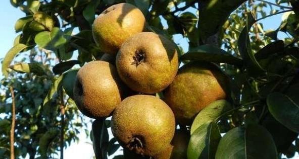 Screenshot_2018-10-02-Piante-da-frutto-Ravenna-Vivai-Piante-Rosetti-I-prodotti4
