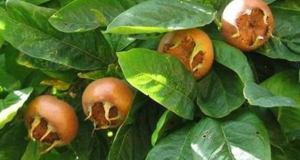 Screenshot_2018-10-02-Piante-da-frutto-Ravenna-Vivai-Piante-Rosetti-I-prodotti5